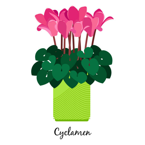 alpenveilchen-pflanze im topf-symbol - alpenveilchen stock-grafiken, -clipart, -cartoons und -symbole