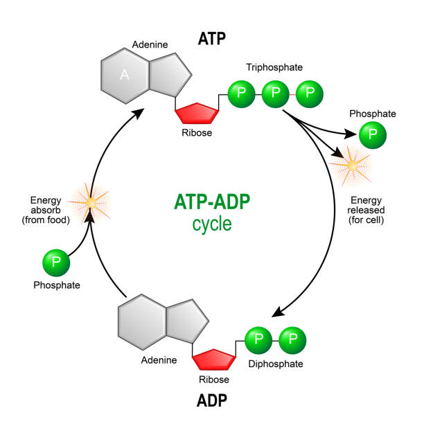 ATP ADP cycle. intracellular energy transfer. ATP ADP cycle. Adenosine triphosphate (ATP) is a organic chemical that provides energy for cell. intracellular energy transfer. Adenosine diphosphate (ADP) is organic compound for metabolism in cell. Vector diagram for educational, biological, medical and science use. model of molecule adenosine triphosphate, and Adenosine diphosphate mitochondrion stock illustrations