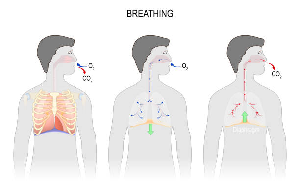 Cycle of breathing, inspiration and expiration. Cycle of breathing, inspiration and expiration. respiratory system anatomy. diaphragm functions. illustration for medical, science, and educational use smoke inhalation stock illustrations
