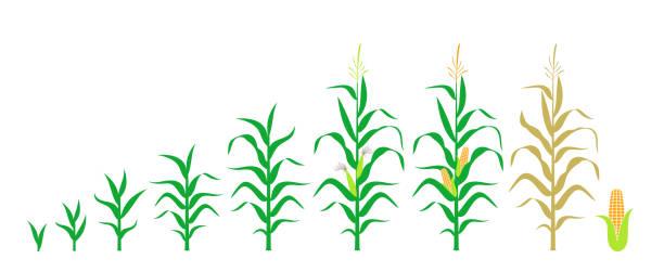 zyklus des wachstums eines maises. isolierter mais auf weißem hintergrund - mais stock-grafiken, -clipart, -cartoons und -symbole