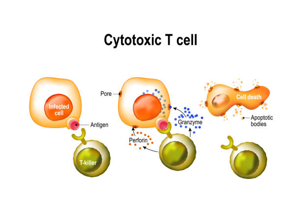 Cytotoxic T cell. Cytotoxic T cell. T-cell regulate immune responses, release the perforin and granzymes, and attack infected or cancerous cells. Through the action of perforin, granzymes enter the cytoplasm of the target cell, and lead to apoptosis (cell death). receptor stock illustrations
