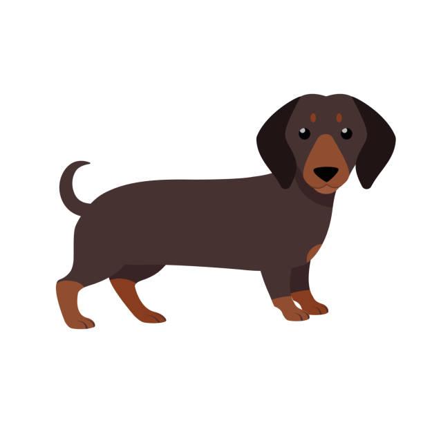 bildbanksillustrationer, clip art samt tecknat material och ikoner med tax. söt renrasiga hund. - tax
