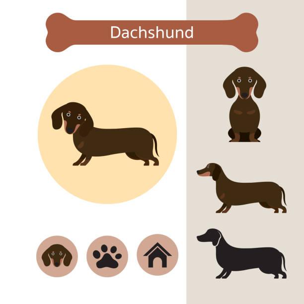 bildbanksillustrationer, clip art samt tecknat material och ikoner med tax hund rasen infographic - tax