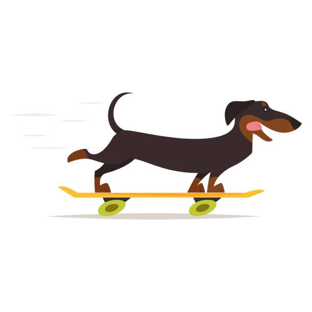 bildbanksillustrationer, clip art samt tecknat material och ikoner med tax hund rider skateboard - tax
