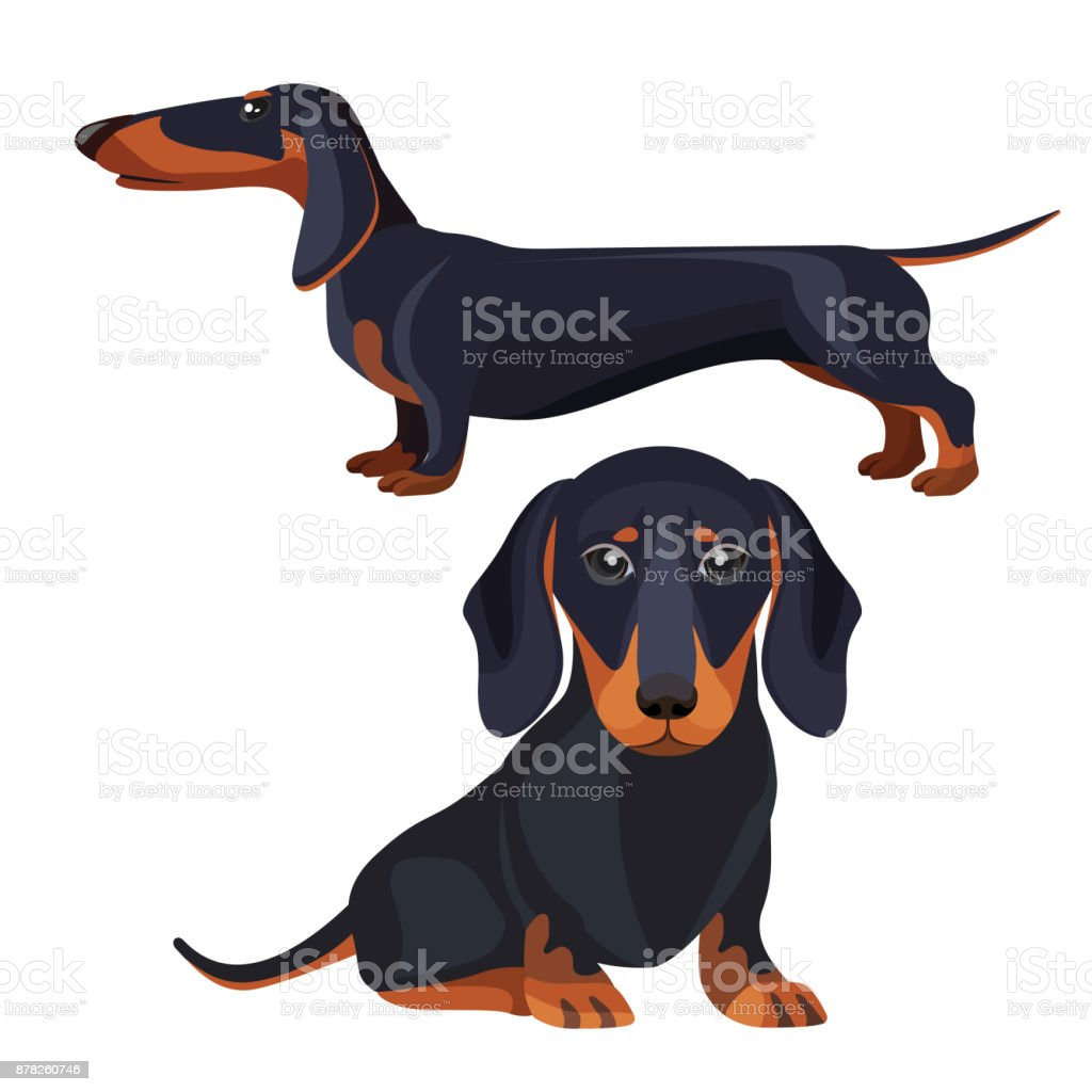 Dachshund dog with black fur in various positions vector art illustration