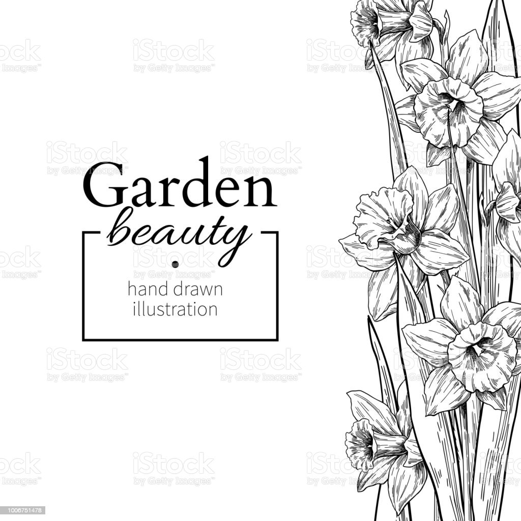 Daffodil Flower And Leaves Border Drawing Vector Hand Drawn Engraved Floral Frame Stock Illustration Download Image Now Istock