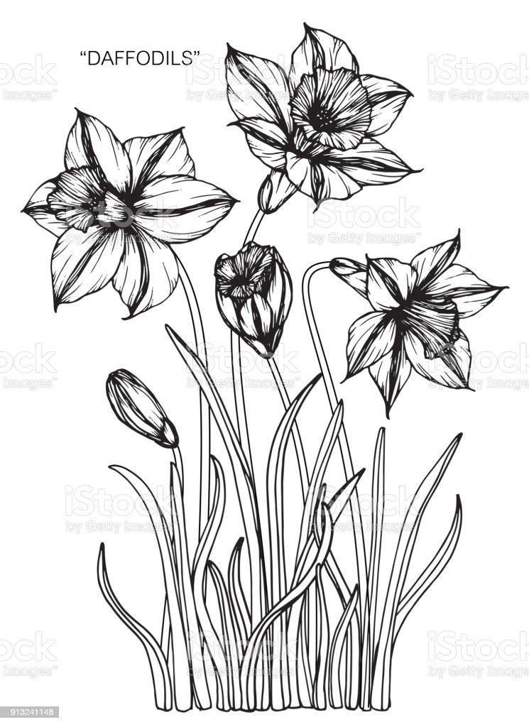Fleur jonquille de dessin cliparts vectoriels et plus d - Dessin jonquille fleur ...