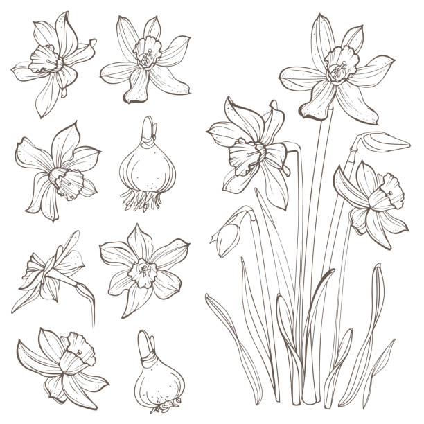 Daffodil flowers, isolated on white background. Hand-drawn illustrations. Image for your design projects daffodil stock illustrations