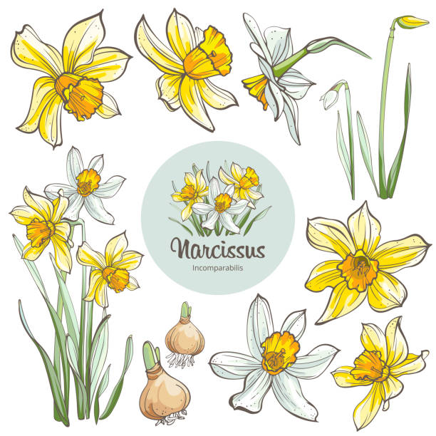 Daffodil flowers, isolated on white background. Hand-drawn illustrations. Image for design projects daffodil stock illustrations