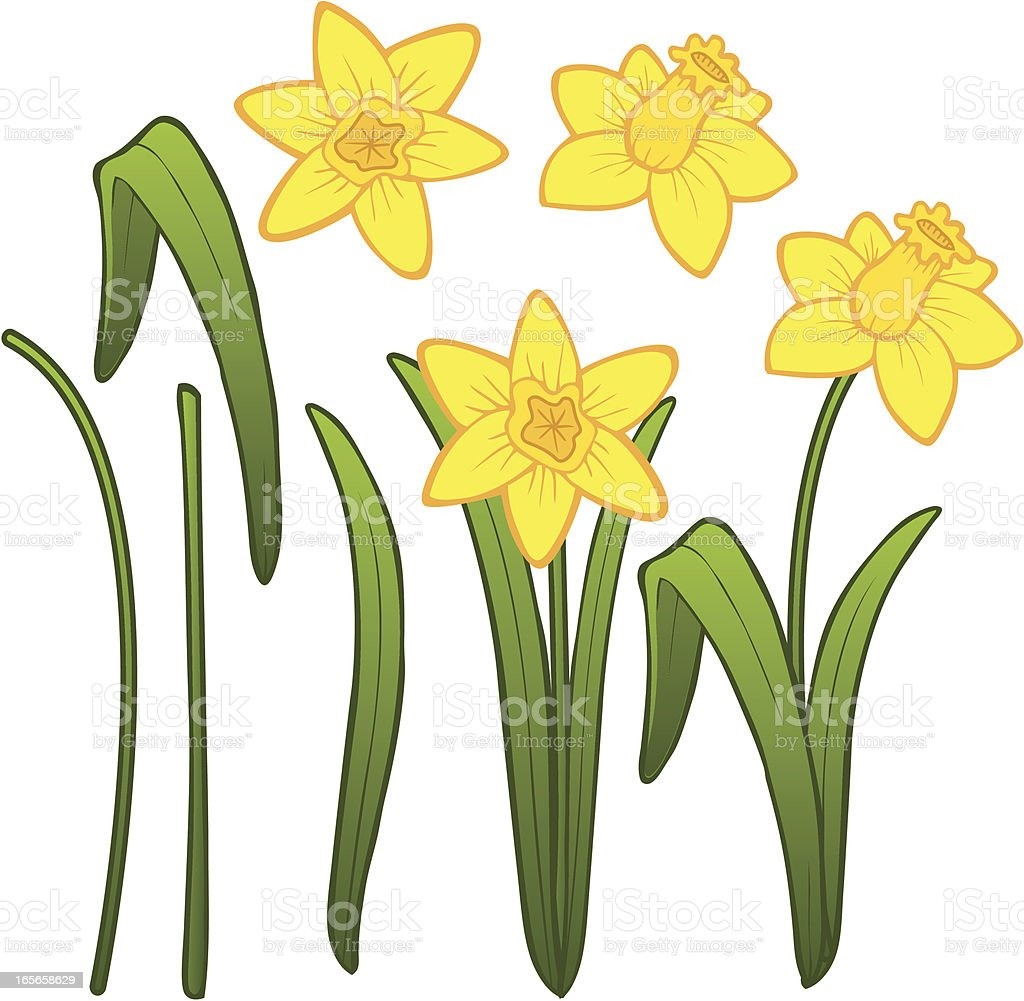 Daffodil Parts vector art illustration