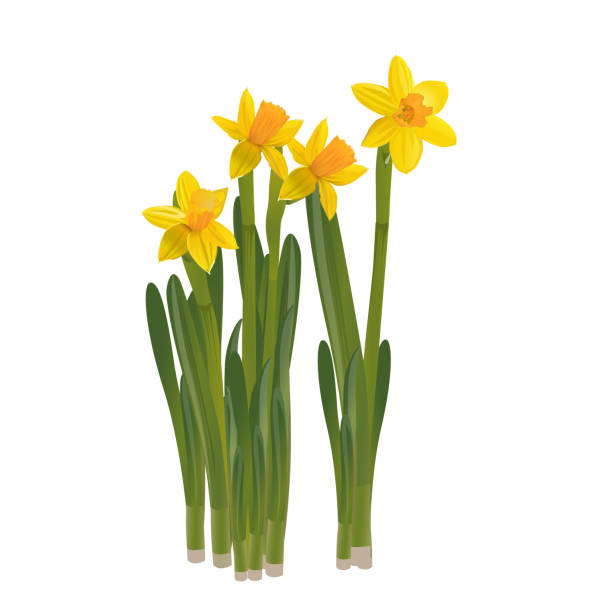 Daffodils on a white background. Vector illustration. Daffodils on a white background. Vector illustration. daffodil stock illustrations
