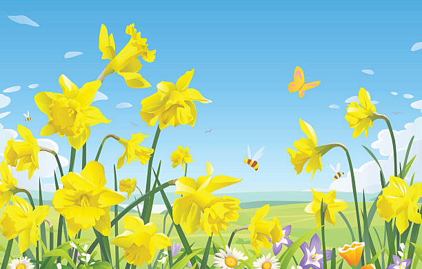 Daffodils A meadow full of daffodils, bees and butterflies and blue sky in the background. EPS 8, fully editable, grouped and labeled in layers. daffodil stock illustrations