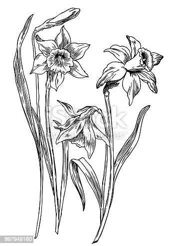 Hand drawn pen and ink daffodils botanical illustration. Colors can be changed easily. Flowers are separate groups