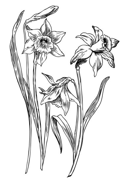 Daffodils Hand drawn pen and ink daffodils botanical illustration. Colors can be changed easily. Flowers are separate groups daffodil stock illustrations