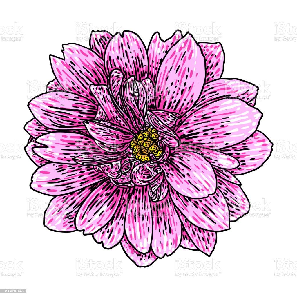 Dahlia Botanical Illustration Design Elements In Black And Color ...
