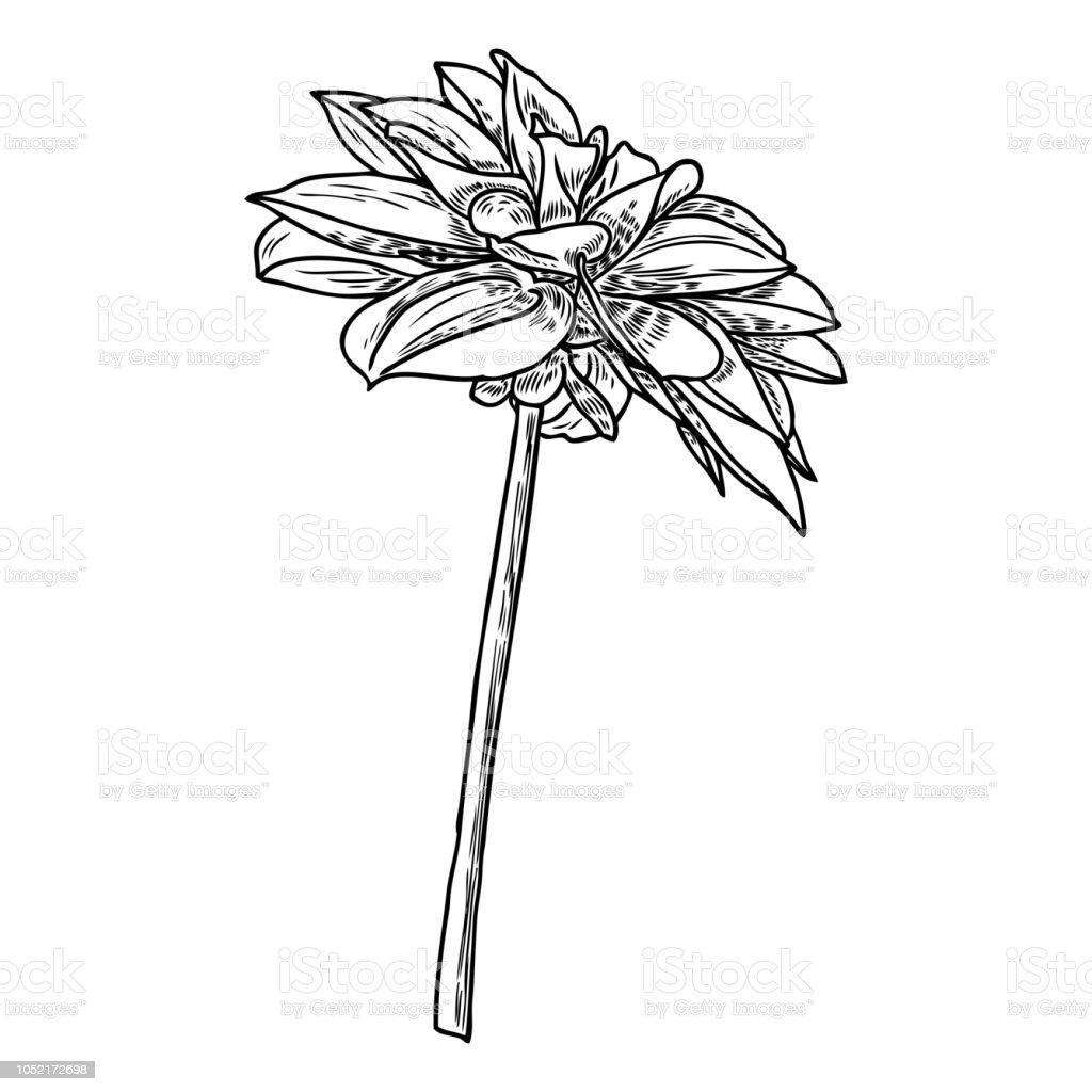 Botanical Black And White Ink Vintage Illustration. Summer Design Elements.  Related
