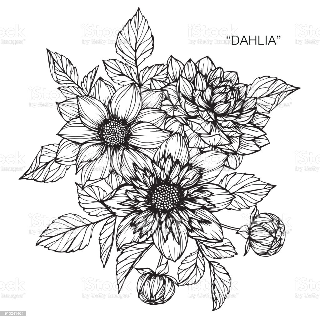 Dahlia Flower Drawing Stock Vector Art More Images Of Art