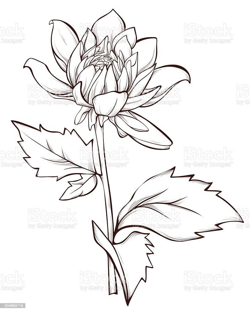 Dahlia Flower Line Drawing : Dahlia flower isolated stock vector art more images of