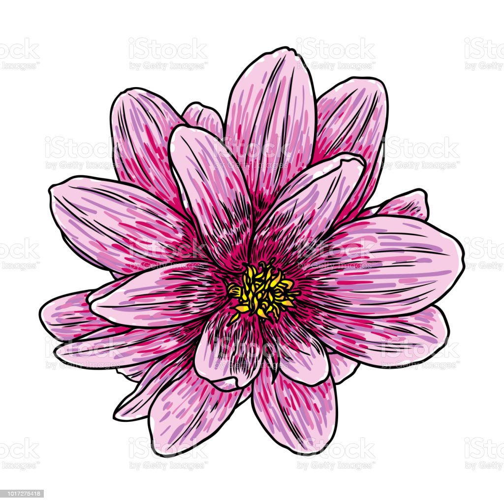Dahlia Flower Related Species Include The Daisy Chrysanthemum And