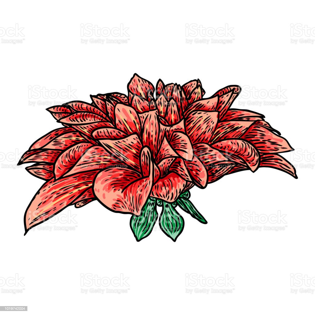 Dahlia Or Zinnia Flower Drawing In Color Sketch Of Black Line Art On