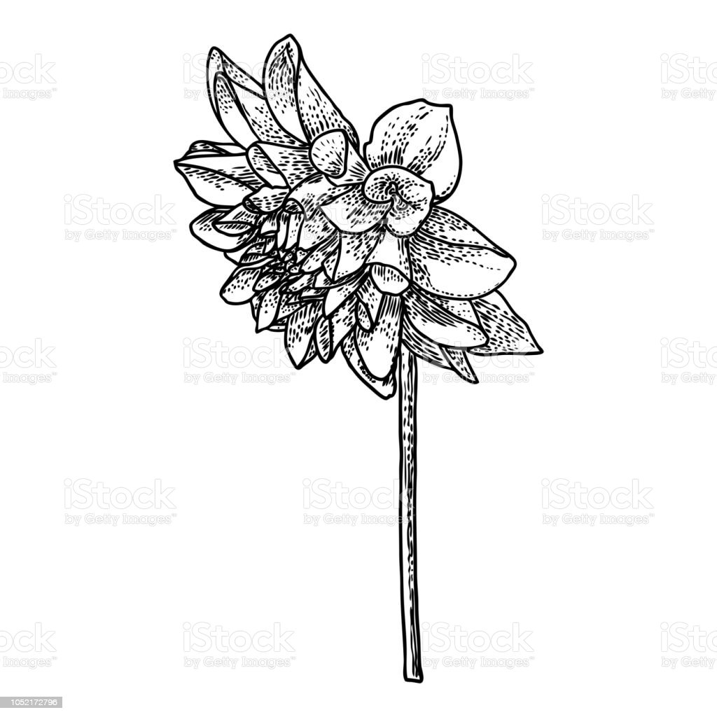 Dahlia Or Zinnia Flower Drawing Sketch Of Black Line Art On White