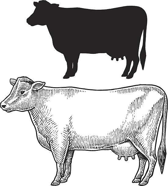 """Dairy Cow - Farm Animal, Livestock Dairy Cow - Farm Animal, livestock. Pen and ink and silhouette style illustrations of a dairy cow. Layered. Check out my """"Vectors Animals & Insects"""" light box for more. dairy cattle stock illustrations"""