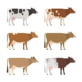 Set of six different breeds and colors dairy cows, isolated on white background.