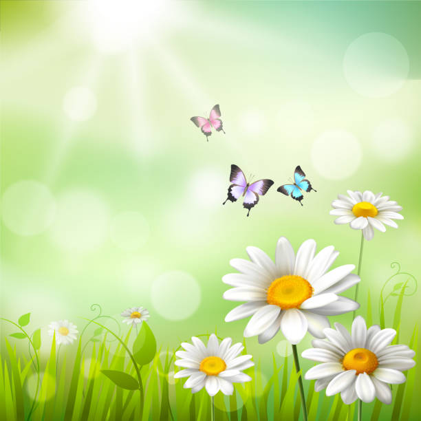 daisies summer background Summer meadow background with white daisy flowers and butterflies vector illustration temperate flower stock illustrations