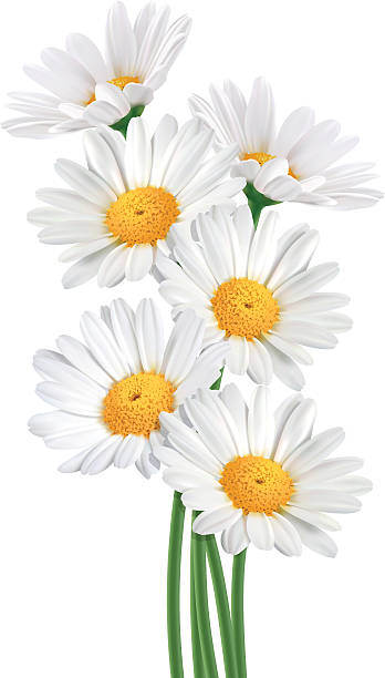 Daisy Bouquet (Vector) Realistic vector illustration of daisy flowers bouquet on white background. daisy stock illustrations