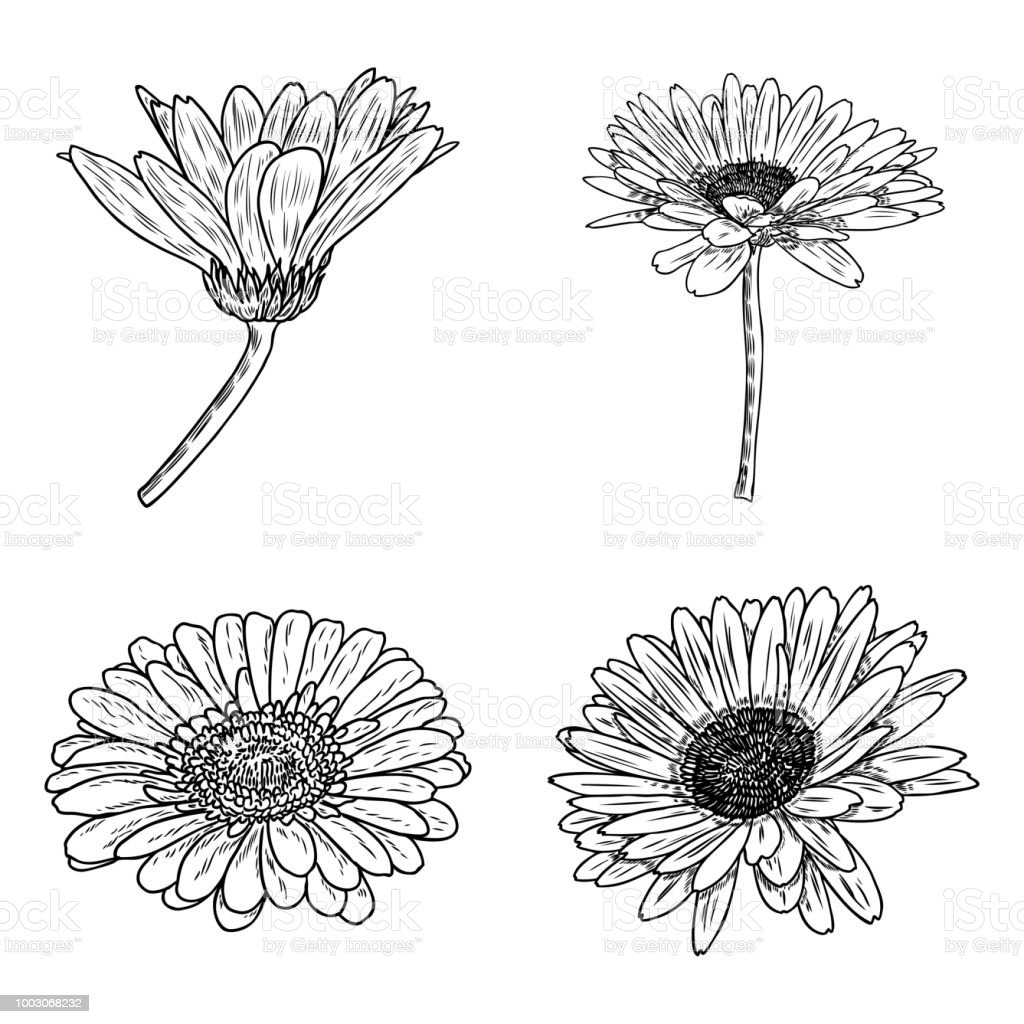 Daisy Floral Botany Collection Sketch Daisy Flower Drawings Black