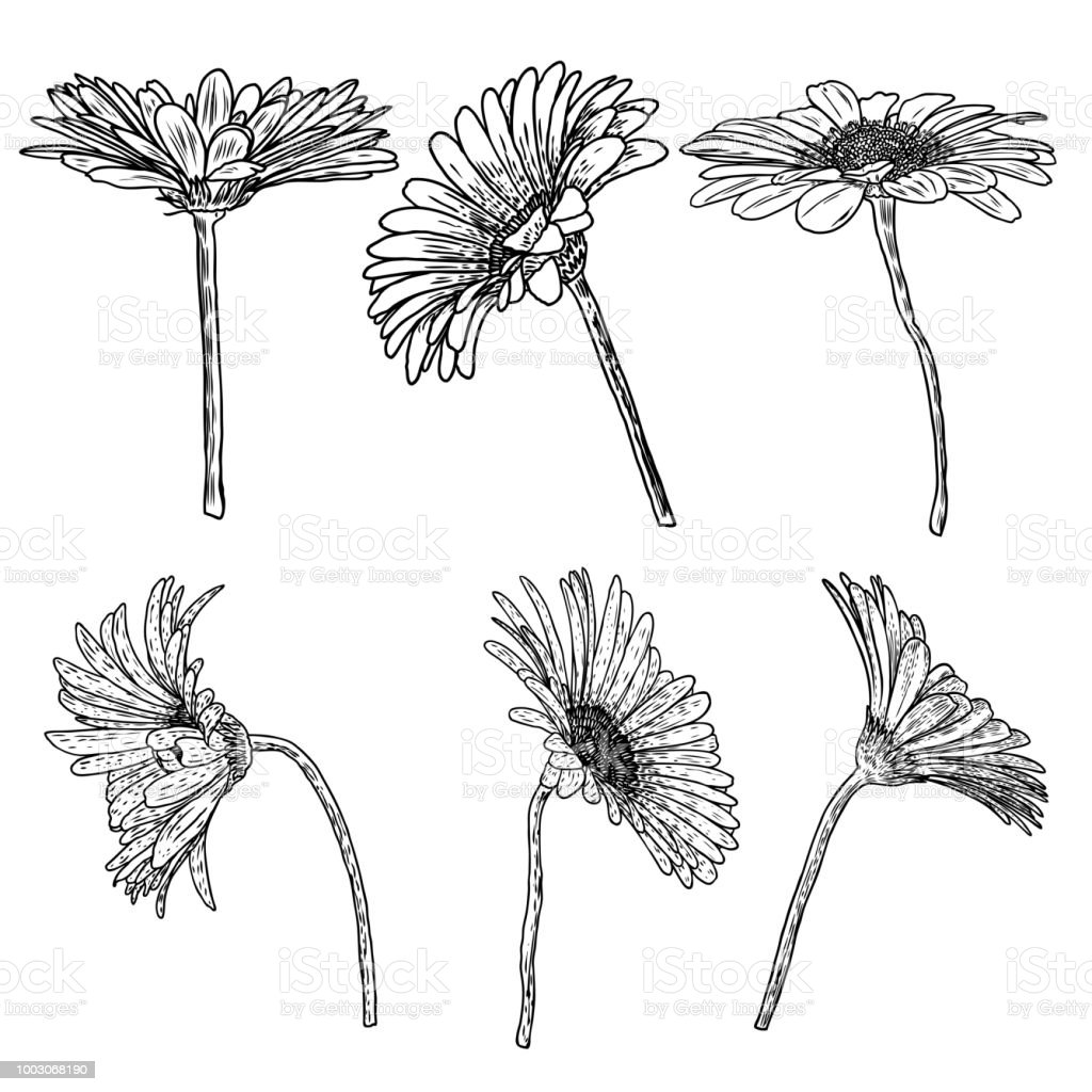 Daisy Floral Botany Set Sketch Daisy Flower Drawings Black And White