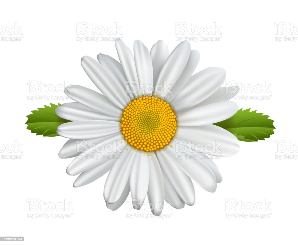 Daisy Flower Chamomile Isolated Marguerite Daisies Stock Vector Art