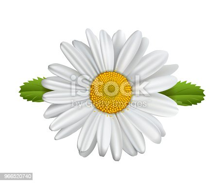 Daisy flower, Chamomile isolated, Marguerite, daisies, Vector illustration isolated on white background