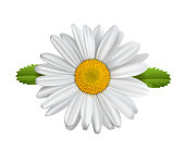 Daisy flower, Chamomile isolated,\nMarguerite, daisies,\nVector illustration isolated on white background