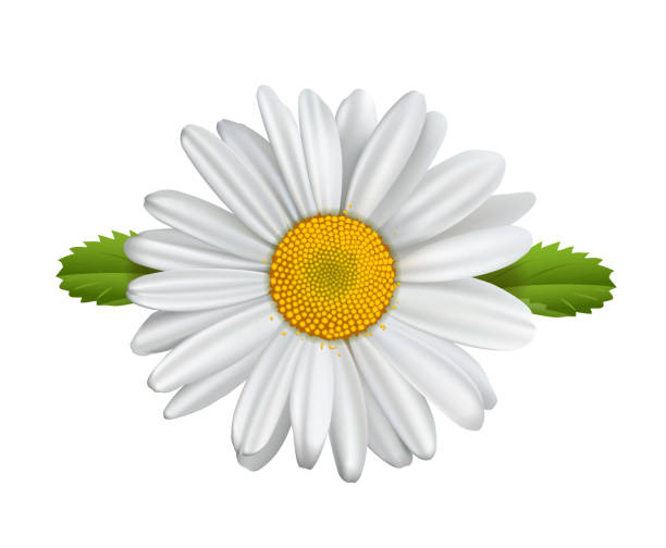 Daisy flower, Chamomile isolated, Marguerite, daisies, Daisy flower, Chamomile isolated, Marguerite, daisies, Vector illustration isolated on white background daisy stock illustrations