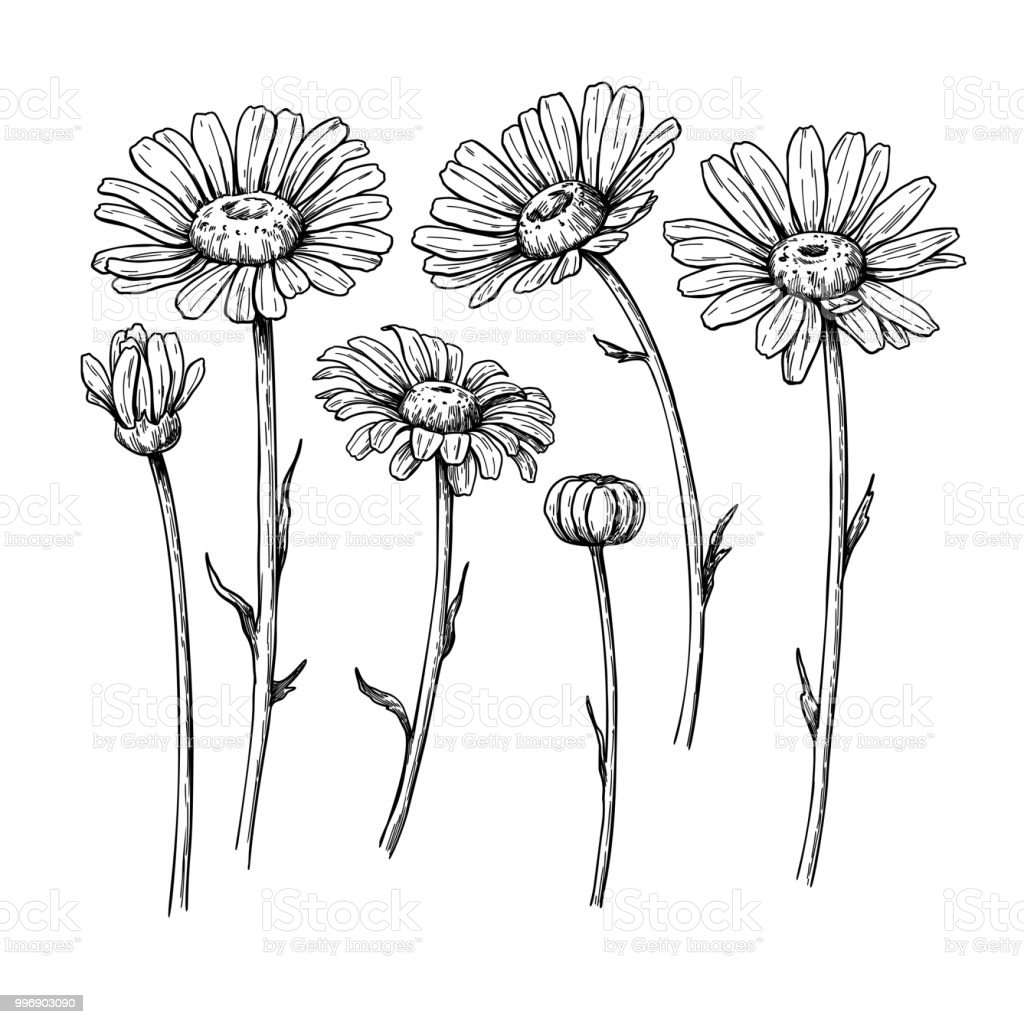 Fleur De Marguerite De Dessin Dessines A La Main Vector Gravee Ensemble Floral Encre Noire De Camomille Vecteurs Libres De Droits Et Plus D Images Vectorielles De Arbre En Fleurs Istock