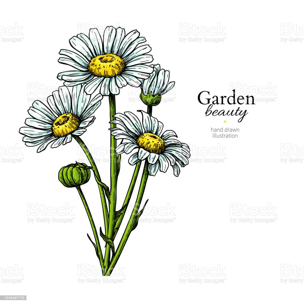 Daisy Flower Drawing Vector Hand Drawn Floral Bouquet Chamomile