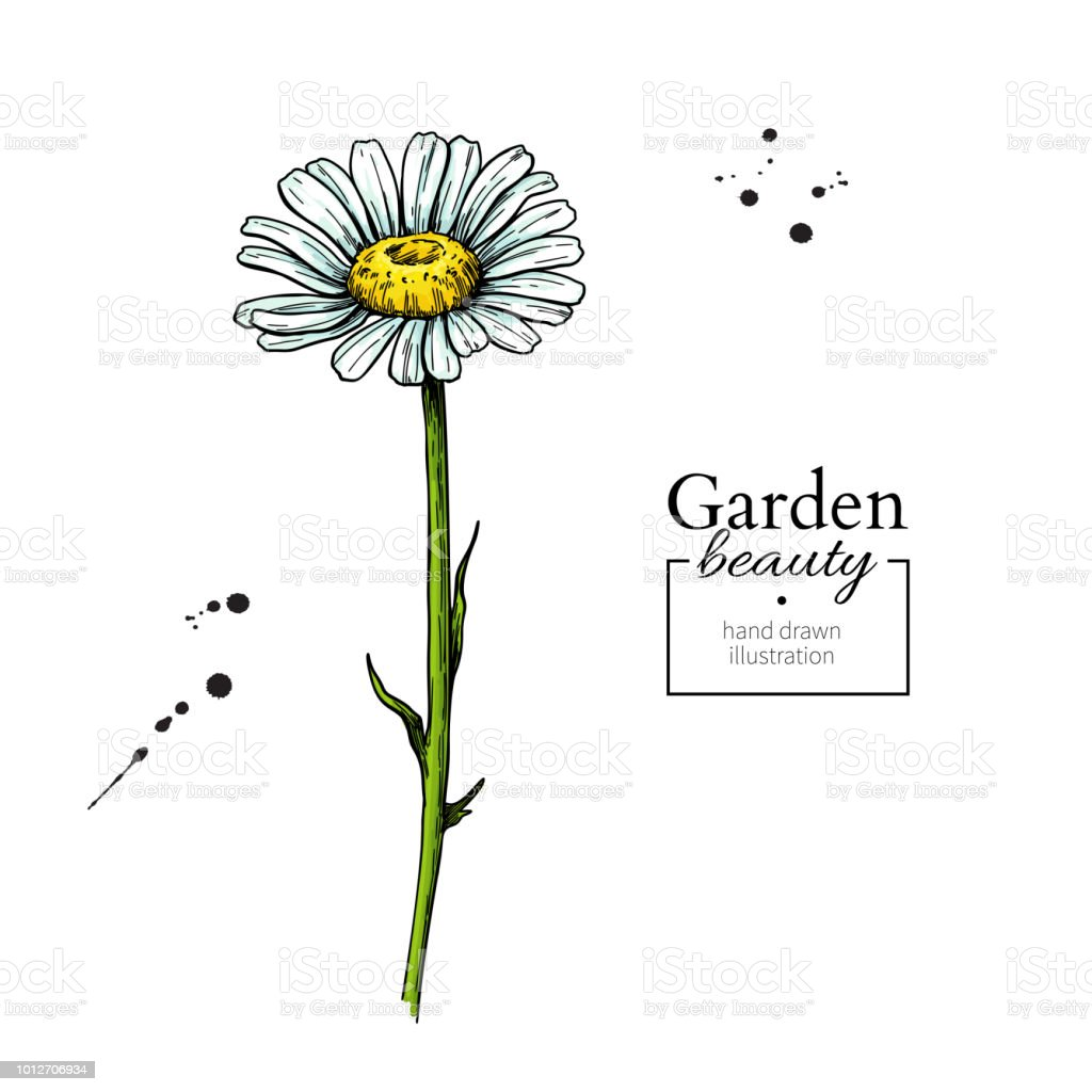Daisy Flower Drawing Vector Hand Drawn Floral Object Chamomile