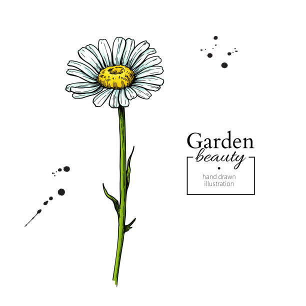 Daisy flower drawing. Vector hand drawn floral object. Chamomile sketch. Daisy flower drawing. Vector hand drawn floral object. Chamomile sketch. Wild botanical garden bloom. Great for tea packaging, label, icon, greeting cards, decor daisy stock illustrations