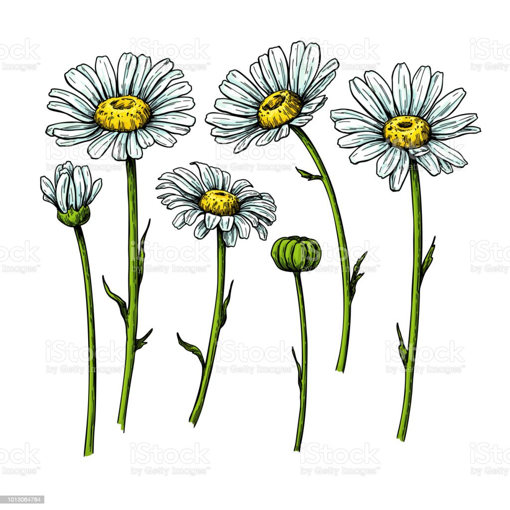 Daisy flower drawing vector hand drawn floral object chamomile daisy flower drawing vector hand drawn floral object chamomile sketch set royalty izmirmasajfo