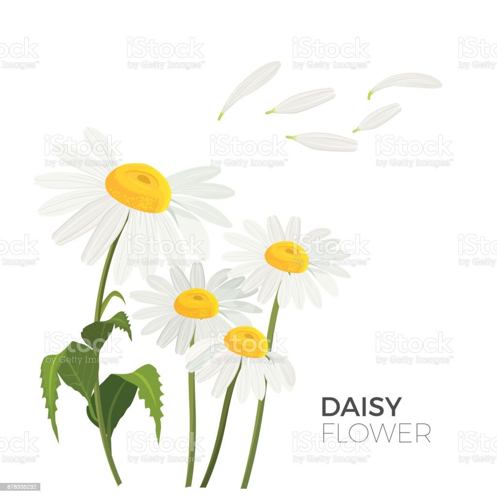 Daisy flowers with white petals and yellow middle realistic vector