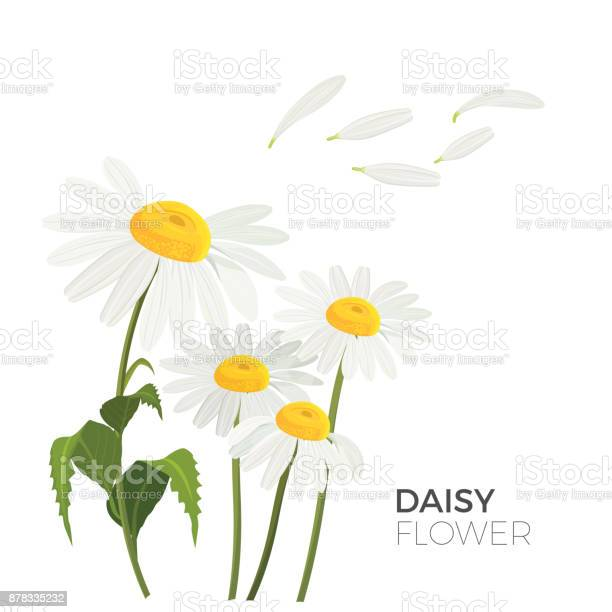 Daisy flowers with white petals and yellow middle realistic vector vector id878335232?b=1&k=6&m=878335232&s=612x612&h=bl2vywtu ztaavlaqq567qi3b7r66snb7v68jbsefpg=
