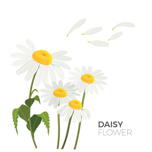 Daisy flowers with white petals and yellow middle realistic vector Daisy flowers with white petals and yellow middle realistic vector illustrations isolated with text. Bellis perennis species of lawn common daisies daisy stock illustrations