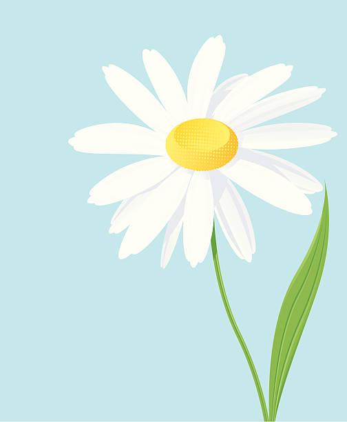 Daisy Single white daisy. chamomile plant stock illustrations