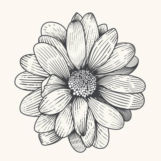 daisy - нивяник stock illustrations