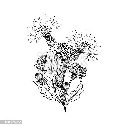 Flowering dandelion freehand vector bouqet illustrations. Spring honey plant, hand drawn wildflower twigs. Summer flower, Taraxacum leaves, buds monochrome engraving. Postcard, poster design element