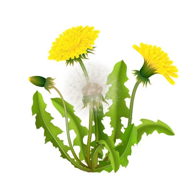 illustrations, cliparts, dessins animés et icônes de réaliste de pissenlit buisson isolé - plante sauvage