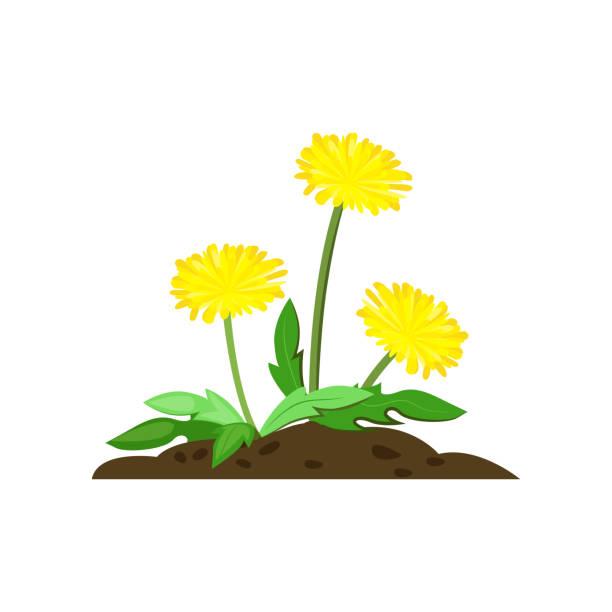 illustrations, cliparts, dessins animés et icônes de illustration de dessin animé de pissenlit - plante sauvage