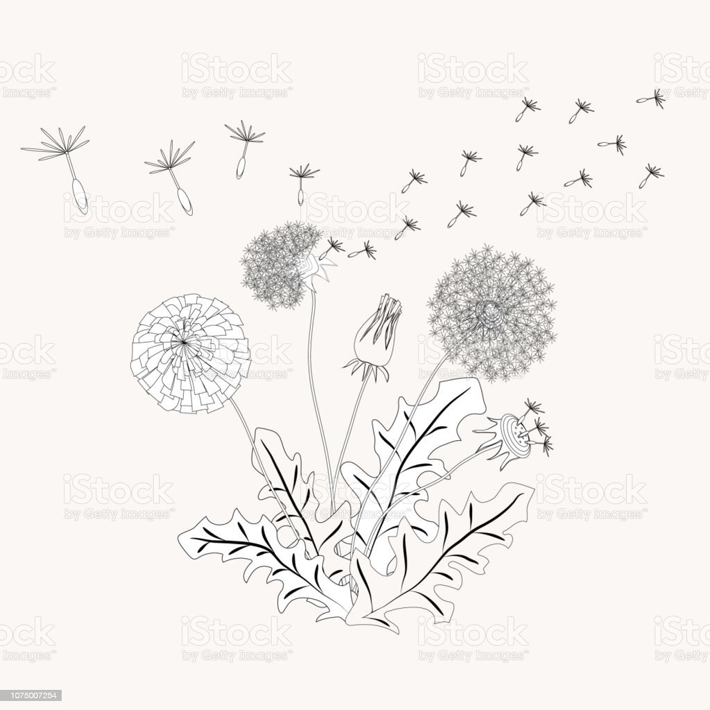 It is a photo of Irresistible Dandelion Coloring Page