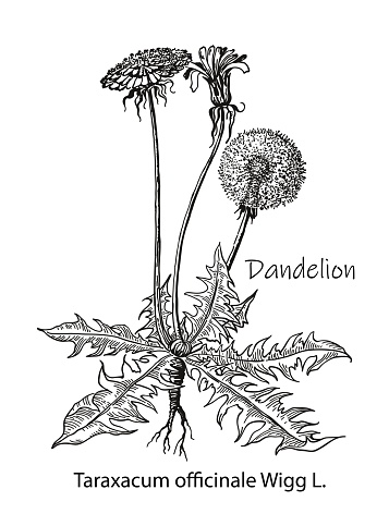 Dandelion flower vector drawing. Isolated wild plant and leaves. Herbal engraved style illustration. Detailed botanical sketch